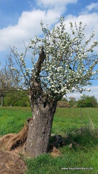 Alter Baum - neue Blüte