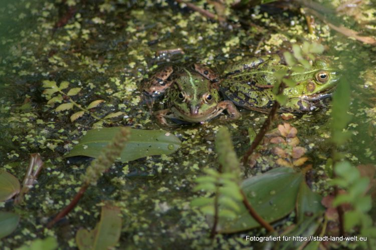 Wasservogelreservat Wallnau / Insel Fehmarn - Frosch